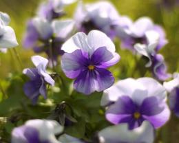 soft purple tender flower HD wallpaper 1920x1128 So soft purple tender 611