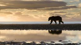 polar bear wallpaper with a polar bear walking over the ice background 440