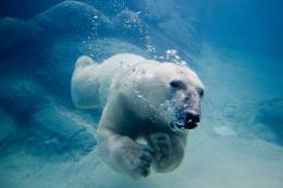 Fichier:Polar bear swimming in zoo jpg — Wikipédia 965