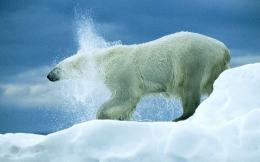 related pictures polar bear funny 1400x1050 wallpapers bear 1400x1050 1340