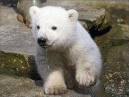 Learn2Love: Polar Bears!!! | Just another WordPress com weblog 1707