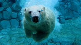polar bear swimming underwater hd animal wallpaper polar bears jpg 1728