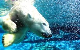 Polar Bear Water Dive 297