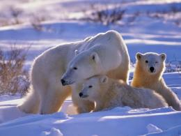 download polar bears in the snow wallpaper in animals wallpapers with 1367