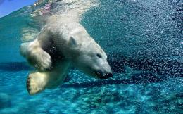 Diving Polar Bearid: 142194 285