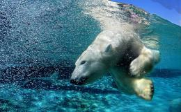 wallpaper of a polar bear diving underwater | Polar bear wallpaper 1122