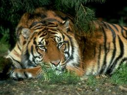 tiger,tiger sitting on beautiful grass ground ,wallpapers,pictures 894
