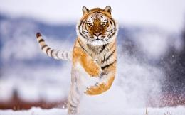 25 Adorable Siberian Tiger Pictures 1288