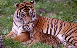 30+ Bengal Tiger Pictures Collection 144