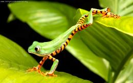 All Animals Red Eyed Tree Frog Bright Side Markings Wallpaper 269