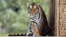 30+ Bengal Tiger Pictures Collection 1326