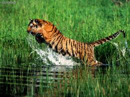 tiger,tiger jumping very dangerous style ,wallpapers,pictures,images 1523