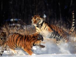 tiger,tiger jumping very dangerous style ,wallpapers,pictures,images 1271