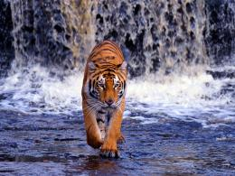 pictures of tigers 1330