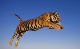 30+ Bengal Tiger Pictures Collection 798