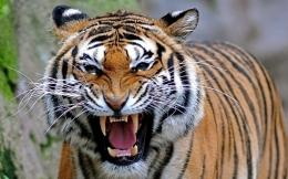 pictures of tigers 1461