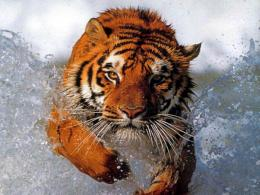 yellow ,black tigers,tigers drinking water,wallpapers,pictures,images 1469