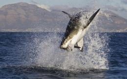 Stuff about Animals & Nature Jumping Great White Shark Wallpapers 1151