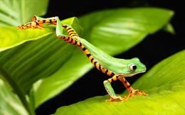 Tree frog jump Wallpapers Pictures Photos Images 1371