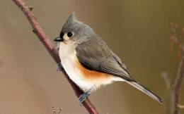 Tufted Titmouse wallpaper #3617 1564
