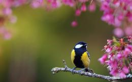 Titmouse wallpaper | Wallpaper Wide HD 1240