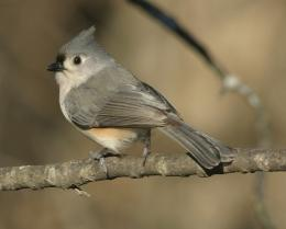 titmouse birds Zig Zag Wallpapers 4 1415