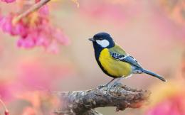 Male great titmouse Wallpapers Pictures Photos Images 492