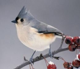 Bridled titmouse Bird Wallpaper | Wallpapers9 916