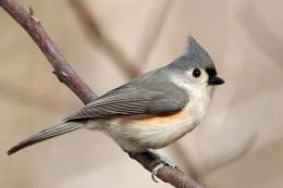 Bridled titmouse Bird Wallpaper | Wallpapers9 1228