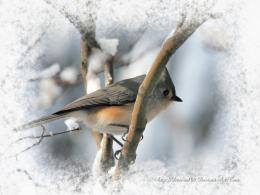 Titmouse wallpaper | Wallpaper Wide HD 1185