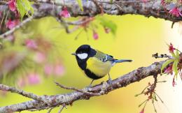 Titmouse Wallpaper | HD Wallpapers Hd pictures For Desktop 801