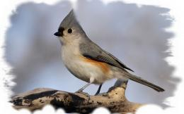 Tufted Titmouse wallpaper710260 641