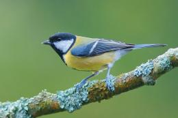Titmouse Bird Wallpaper | 625