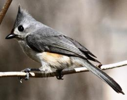 Bridled titmouse Bird Wallpaper | Wallpapers9 889