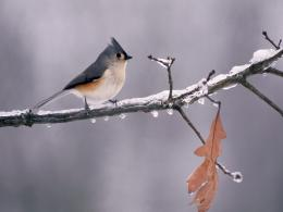 Titmouse Wallpaper | HD Wallpapers Hd pictures For Desktop 676