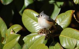 Suzanne Britton Nature Photography: Tufted Titmouse 638
