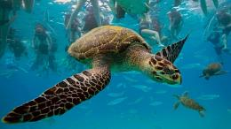 download turtle travelling underwater wallpaper in animals wallpapers 236