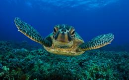 hd turtle wallpaper with a swimming turtle underwater hd turtles 708