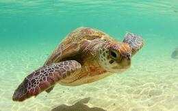 Beautiful Sea Turtle Wallpaper 1920x1200 Wallpapers,Turtle 1920x1200 1671