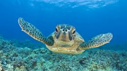Wallpapers : Turtle Swimming Underwater Hd Animal Wallpaper Turtles 623