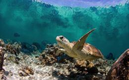 wallpaper with a turtle swimming underwater | HD turtle wallpaper 1023