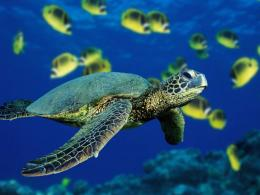 Wallpaper collection: Turtle wallpaper 1365