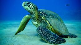 Turtle Sea Fish Photos HD Wallpaper of Seahdwallpaper2013 com 1060