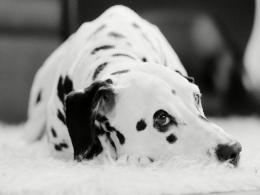 Dalmatian WallpapersFunny Animals 610