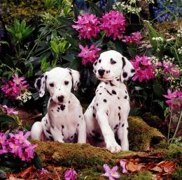 WP05999 Two Dalmatian pups with flowering Rhododendron and Hedge 838