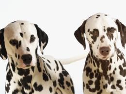 two dalmatians wallpaper 1024x768 5535eef944707 jpg 153