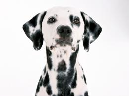 Cute Dalmatian Puppies5 Wallpapers Download Free Wallpapers in HD 1633