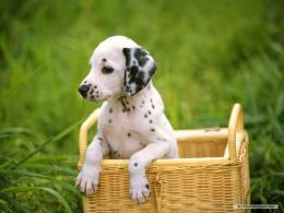 PicturesPool: Dalmatian Dogs wallpapers 1949