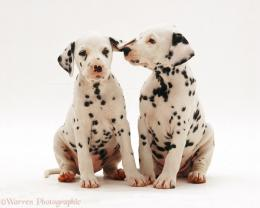 Picture Two Dalmatian Puppies 1801