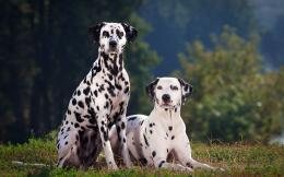 Two Dalmatians wallpaper 407
